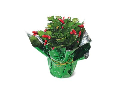 Aldi Christmas cactus