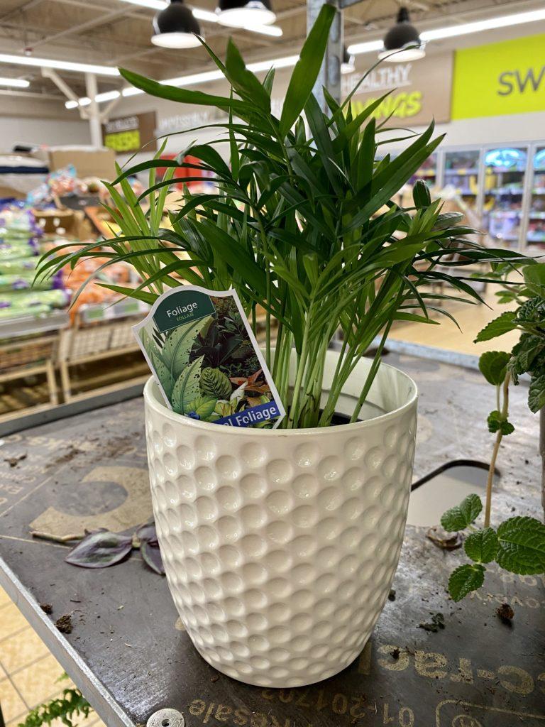 Tropical foilage houseplant at Aldi
