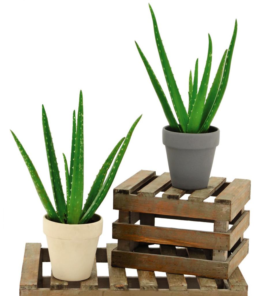 aldi aloe vera plant