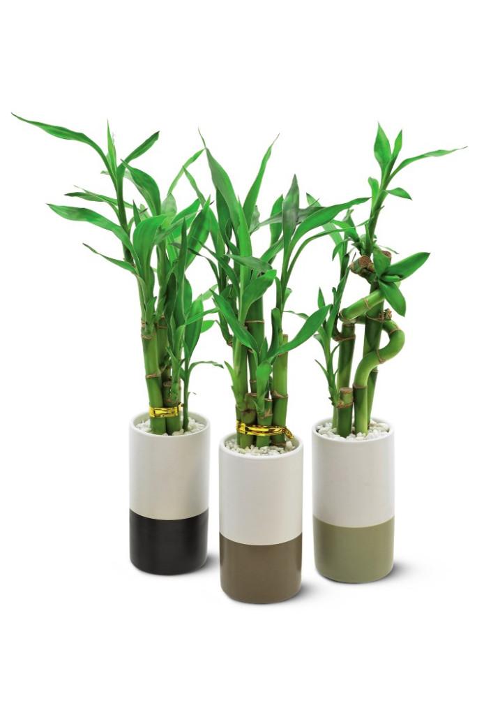 aldi bamboo plant