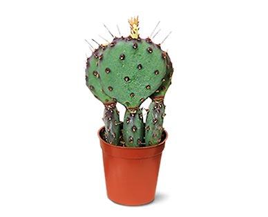 aldi mini cactus