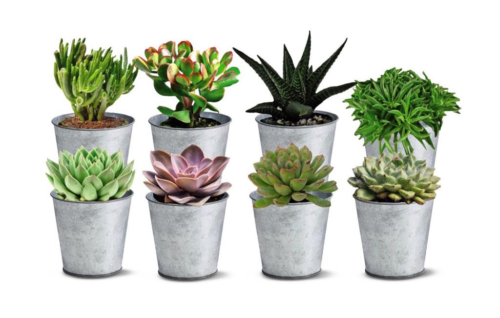 aldi succulents in tins