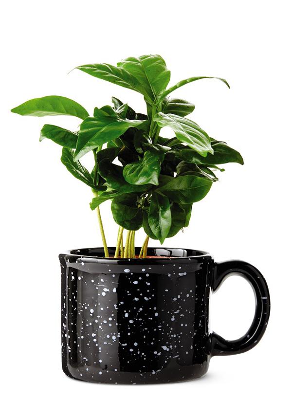 coffee plant from aldi