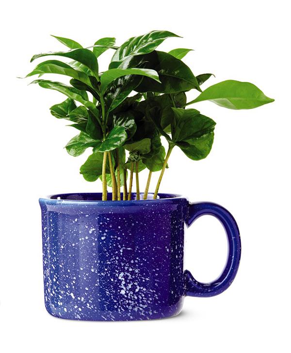 aldi coffee plant