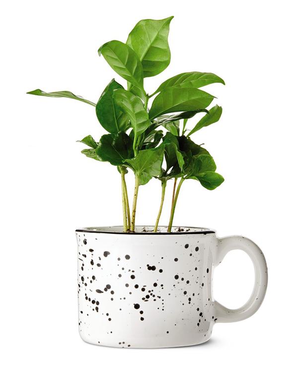 aldi coffee plant in white mug