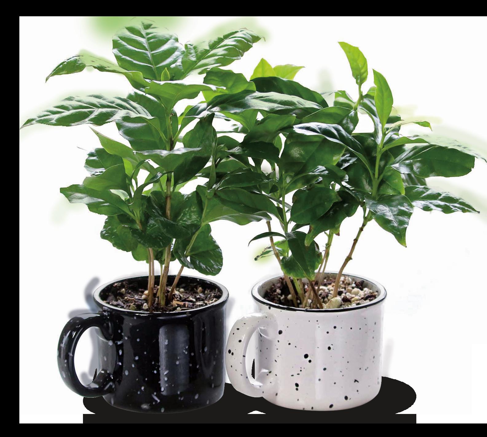 Coffee Plant at Aldi