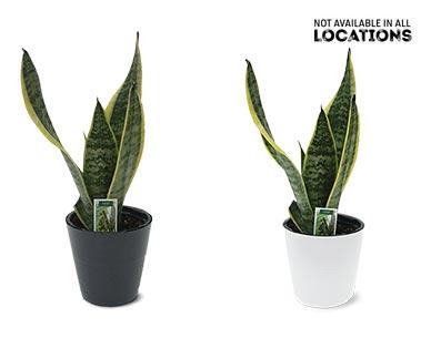 aldi snake plant