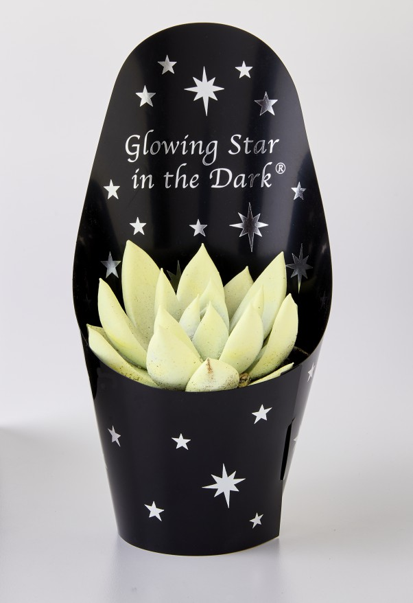 glowing succulent
