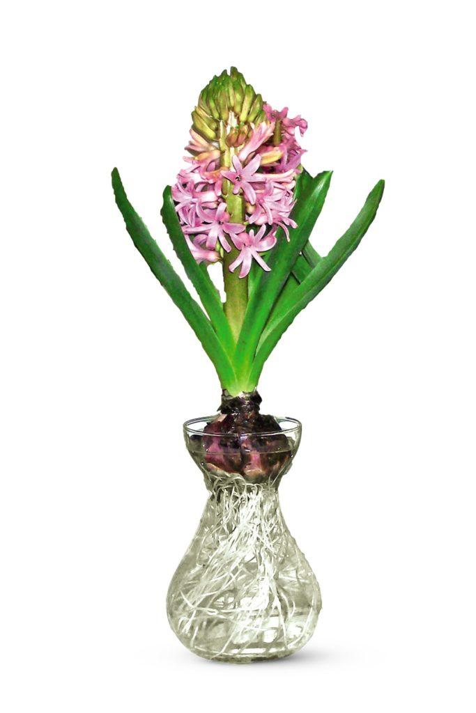 hyacinth in glass vase at aldi