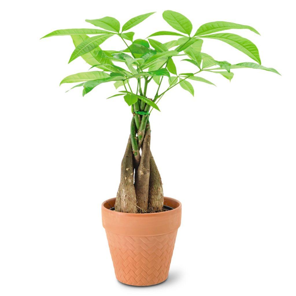 aldi money tree