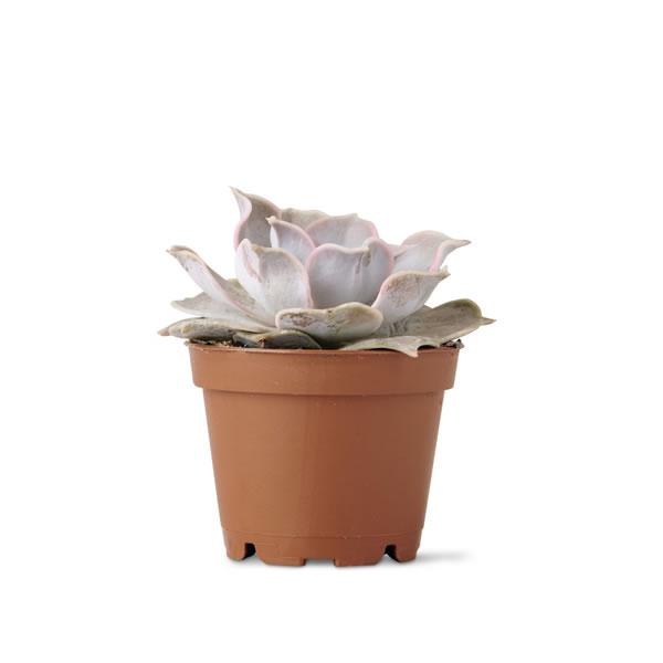 aldi mini succulent $1.99