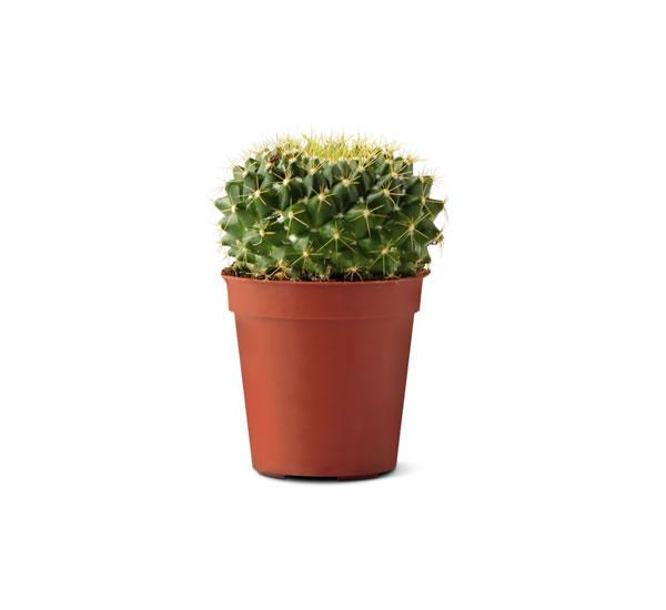 aldi cactus