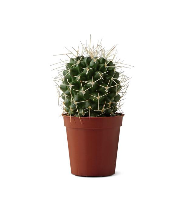 aldi cactus spiny